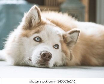 Siberian Husky with beautiful blue eyes. Close-up Portrait of Beige and white cute and happy Siberian Husky dog. Selective focus on the nose