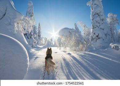 Siberian husky in beautiful winter landscape - Shutterstock ID 1754522561