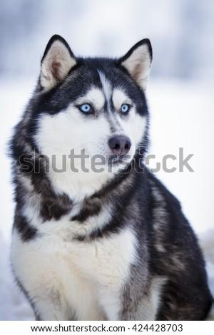 Siberian Husky Black Dog Blue Eyes Stock Photo Edit Now 424428703
