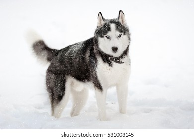 Siberian Husky black and white colour with blue eyes in winter. Snow dog