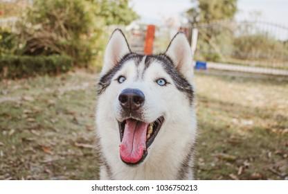 Siberian Husky Blue Eyes Stock Photo Edit Now 1036750204