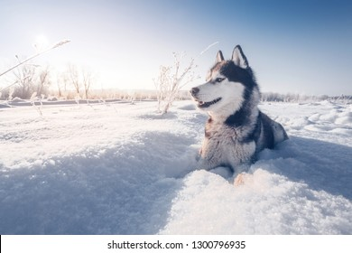 Siberian husky with blue eyes lies on the snow and looks forward
