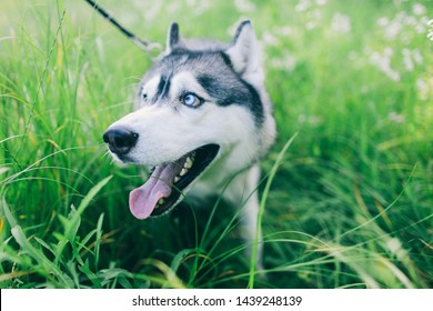 siberian husky with blue eyes sitting in the grass Husky sitting