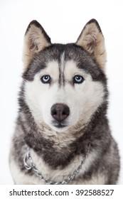 Siberian husky a blue-eyed dog.