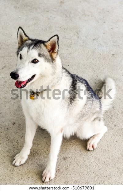 Siberian Husky Breed Dog Grey Color Stock Photo (Edit Now