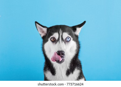 a Siberian husky breed dog on a blue background funny shows the language, the concept of dog emotions