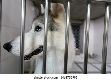 ํYoung Siberian Husky in a Cage