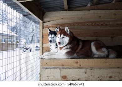 Siberian Husky in a cage
