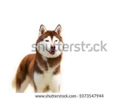 Siberian Husky Coper White Colors White Stock Photo Edit Now