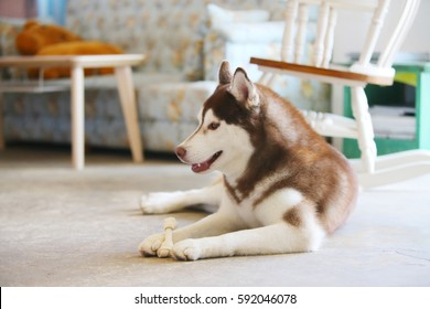 Siberian Husky Copper And White Colors Sleepy Dog In House Ez Canvas