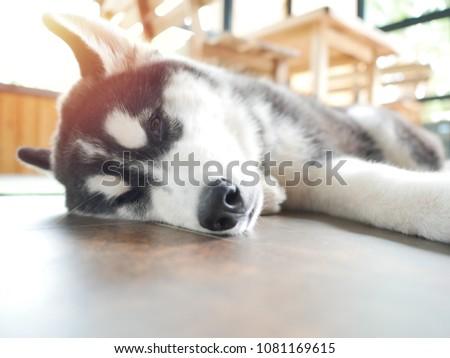 Siberian Husky Copper White Colors Sleep Stock Photo Edit Now