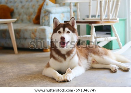 Siberian Husky Copper White Colors Chew Stock Photo Edit Now