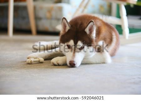 Siberian Husky Copper White Colors Sleepy Stock Photo Edit Now
