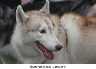 Siberian Husky cute