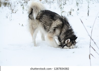 siberian husky is digging a hole in the snow, looking for mice