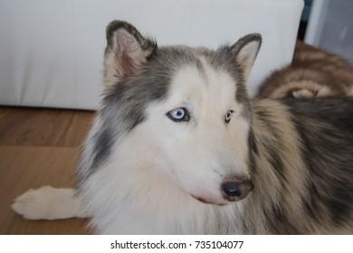 Siberian husky dog.