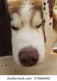 Siberian Husky Dog Chin Resting on an Iron Fence