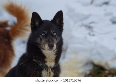 Siberian Husky dog up close portrait