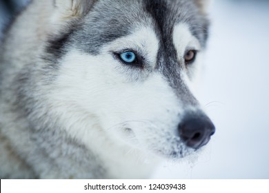 1000 Husky Dog Pictures Royalty Free Images Stock Photos And