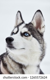 Siberian husky dog closeup portrait.Puppy.Emotion of dog.Looking on side