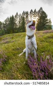 Siberian husky dog with flowers