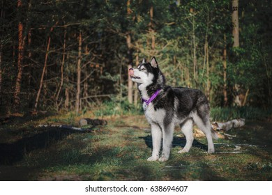 Siberian Husky dog at the forest