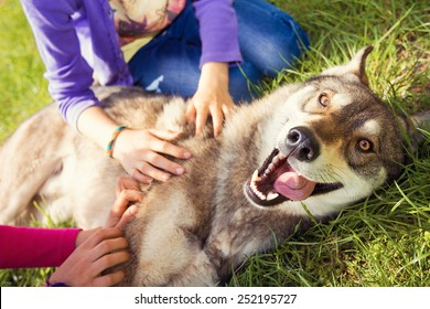 Siberian Husky dog Funny Portrait looking at camera lying on green grass and playing with two girls .