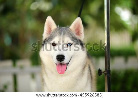 Siberian Husky Dog Gray White Colors Stock Photo Edit Now