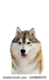 Siberian Husky dog grey and white colours smiling portrait with white background.