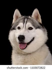Siberian husky dog head shot portrait  isolated on black background.