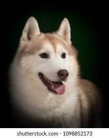 Siberian Husky dog head-shot portrait, isolated on white background.