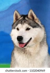Siberian Husky dog head-shot portrait, smile isolated on blue background.