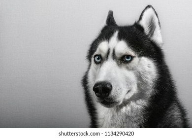 Siberian husky dog isolated on gray. Portrait confused funny sled-dog with blue eyes. Copy space.