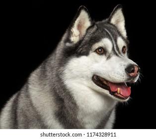 Siberian Husky Dog Isolated  on Black Background in studio