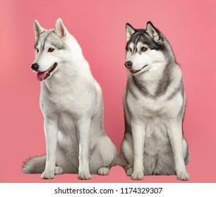 Siberian Husky Dog Isolated  on Pink Background in studio