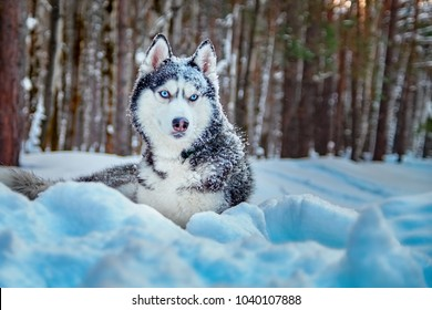 Siberian husky dog lies on snow in winter forest. Cute dog breed black and white color, blue eyes and with snow on muzzle.