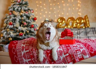Siberian Husky dog lies on the bed near the Christmas tree , figures 2021 New year
