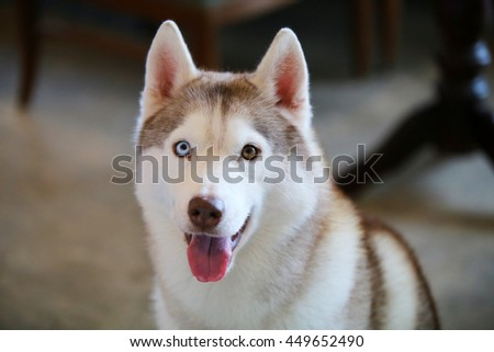 Siberian Husky Dog Light Red White Stock Photo Edit Now 449652490