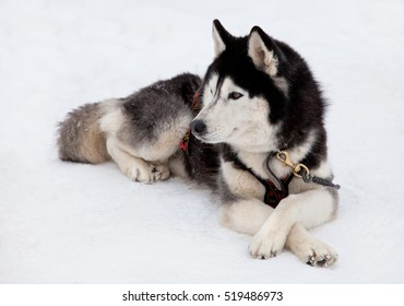Siberian husky dog lying on snow