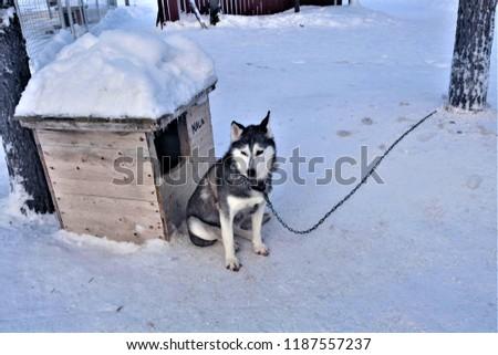 Siberian Husky Dog Name Nara Sitting Stock Photo Edit Now