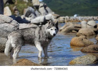 Siberian husky dog on the sea.