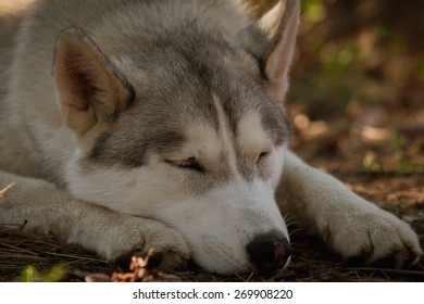 Siberian husky dog outdoors