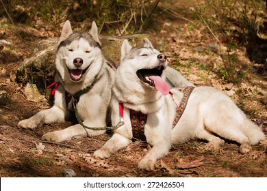 Siberian husky dog outdoors. Portrait of two dogs.