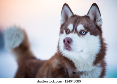 Siberian husky dog portrait