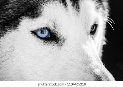 Siberian Husky dog portrait with blue eye looks to right. Husky dog has black and white coat color. Close up. Black background