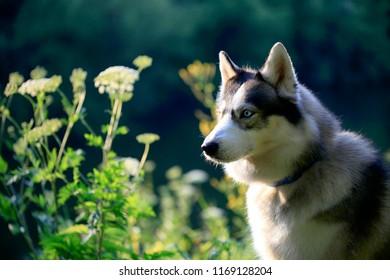Siberian Husky dog portrait outdoor in summer