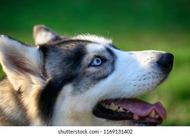 Siberian Husky dog portrait outdoor