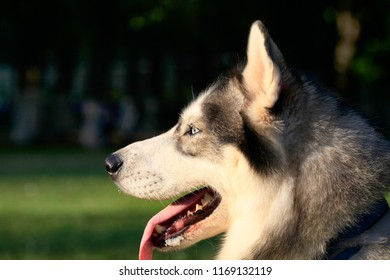 Siberian Husky dog portrait outdoor side view