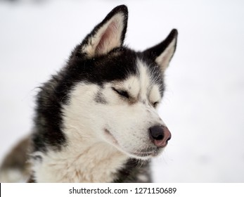 Siberian Husky dog portrait outdoor in winter