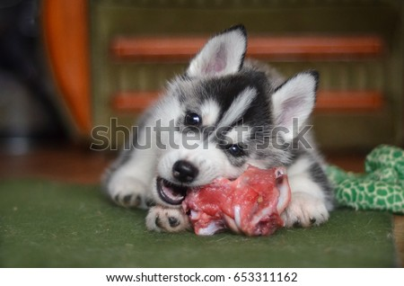 Siberian Husky Dog Puppy Eating Meat Stock Photo Edit Now